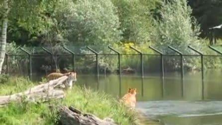 Le tigri vanno a caccia: il gabbiano diventa una pedra