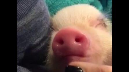 Il maialino dorme dolcemente: le carezze sul musetto lo svegliano
