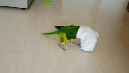 Il piccolo uccellino colorato è bloccato nel calzino: i tentativi di liberarsi sono adorabili