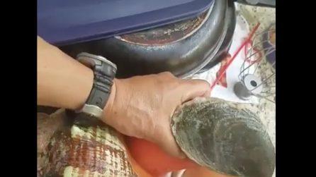 Una lumaca di mare gigante catturata dal pescatore: le immagini impressionanti