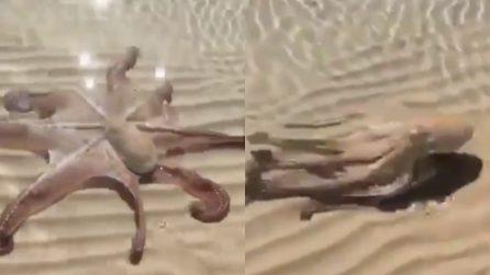 L'incontro inaspettato in riva al mare: il polpo si avvicina alla spiaggia