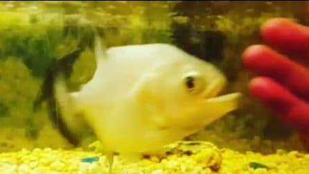 Stuzzica il piranha nell'acquario: la reazione del pesce infastidito