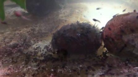 Migliaia di minuscoli girini affollano l'acquario: i rari anfibi allevati allo zoo di Oakland