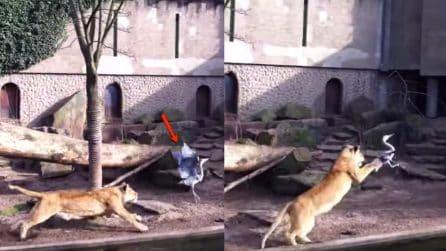 L'airone entra nella gabbia dei leoni: un giovane felino sferra l'attacco