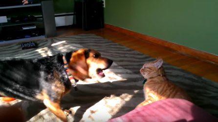 """Il cagnolino vuole giocare col gatto: la """"lotta"""" amorevole"""