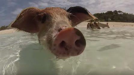 Fanno il bagno insieme ai maialini alle Bahamas: i piccoli animali sono tenerissimi