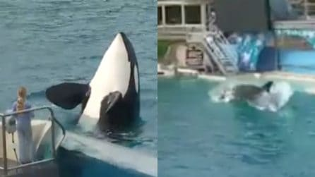 Cattura e divora un pellicano durante lo show: la performance dell'orca