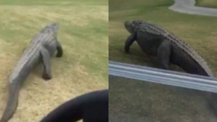 Il coccodrillo rallenta la marcia del motorino sul campo da golf: il rettile passeggia tranquillo
