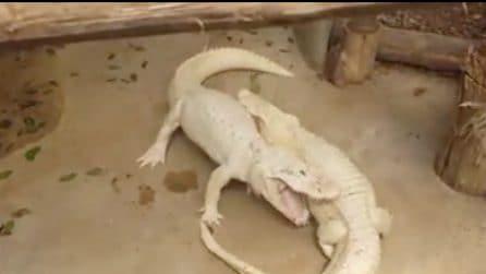 Il combattimento tra gli alligatori albini è davvero violento: i morsi feroci sono impressionanti