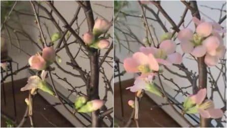 I fiori sbocciano davanti alla telecamera: le spettacolari immagini in timelapse