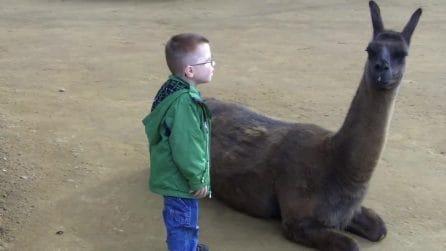Il bambino si avvicina al lama e lo fissa: l'improvvisa reazione dell'animale
