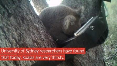 I koala colpiti dal caldo hanno iniziato a bere acqua: perché è un pericolo per loro
