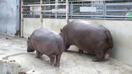 """L'ippopotamo esce dall'acqua, ma all'improvviso una """"brutta e disgustosa sorpresa"""" arriva per i turisti presenti"""