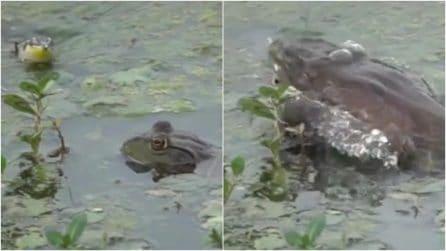 """L'enorme rana toro """"riposa"""" accanto a un suo simile: fa un balzo improvviso e lo divora"""
