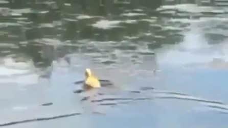 La paperella nuota freneticamente nell'acqua ma non riesce a sfuggire all'attacco