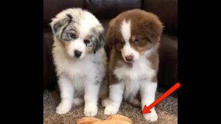 Due cuccioli alle prese con uno strano giocattolo: la loro reazione è davvero adorabile