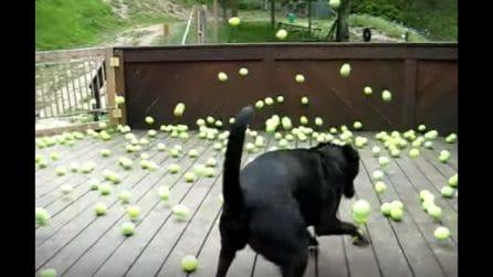 Il sogno di ogni cane: 300 palline da tennis da rincorrere