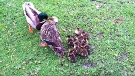 Mamma papera pronta a tutto per difendere i suoi cuccioli dall'attacco di altri uccelli