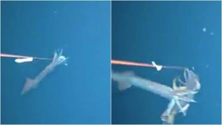 Il calamaro cannibale spunta fuori all'improvviso e divora un suo simile: immagini da brivido