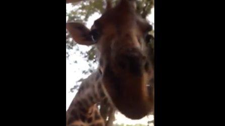 La ragazza si ritrova faccia a faccia con una giraffa: l'esperienza meravigliosa