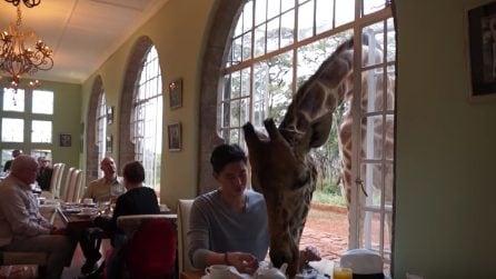 Un insolito ospite a colazione: la giraffa si unisce al banchetto