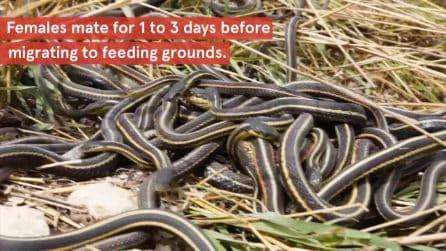 I serpenti maschi invecchiano e muoiono prima perché fanno 'troppo' sesso