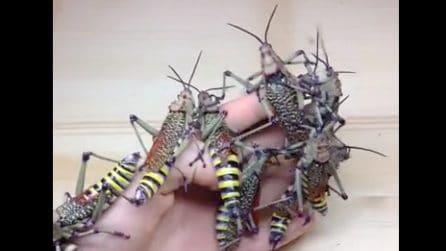 Curiosi insetti ricoprono completamente la sua mano: la scena vi metterà i brividi