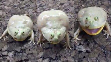 """La rana si avvicina e comincia a """"gridare"""" per difendersi: il bizzarro comportamento"""