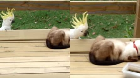"""Il pappagallo si prende gioco del gatto muovendosi furtivamente: la scena da """"Mission Impossible"""" è esilarante"""