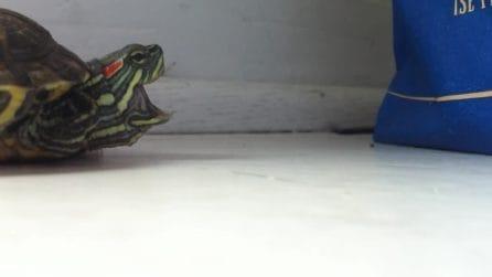 La tartaruga è raffreddata: il modo in cui starnutisce è esilarante