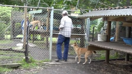 Sandy, il dingo con il DNA più affascinante del mondo