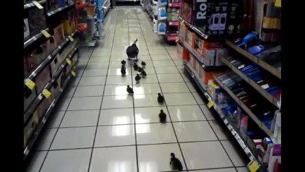 Mamma papera al supermercato con i suoi cuccioli: la scorciatoia per tornare a casa
