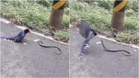 Una gazza azzurra lotta contro un serpente a bordo strada: le immagini sorprendenti