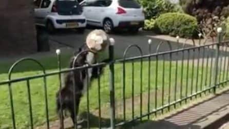 Passa la palla al ragazzo per giocare: il cane è davvero divertente