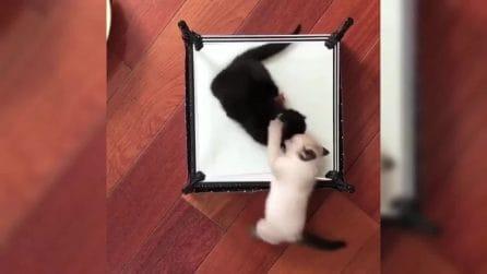 """Sfida all'ultimo """"artiglio"""": i gattini giocano sul mini ring"""