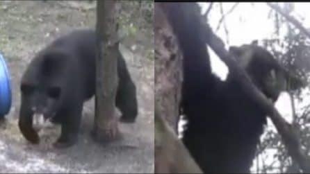L'orso fa uno scatto improvviso e sale sull'albero: l'incontro ravvicinato è da brividi