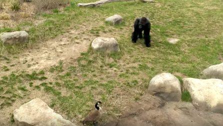 Gorilla vs oca: il finale a sorpresa è tutto da ridere
