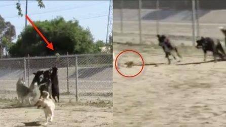 I cani rincorrono lo scoiattolo ma il piccolo è più veloce
