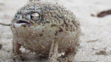 La rana della pioggia e il suo strano e particolare richiamo