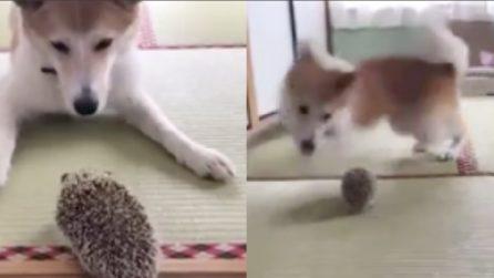 Vede il riccio per la prima volta: la reazione del cane è bellissima