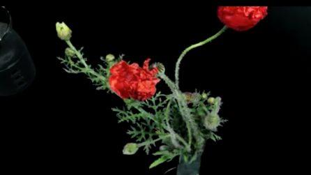 Il papavero sboccia e sembra danzare: la spettacolare fioritura in timelapse