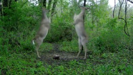 I cervi si affrontano stando su due zampe: la lotta bizzarra
