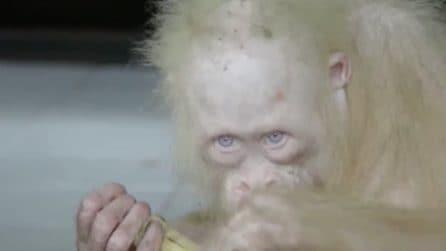 Viveva in cattività in un villaggio: salvato un raro orango albino