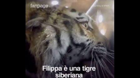 Orfana e tenuta in cattività: la tigre siberiana viene salvata e liberata dai volontari