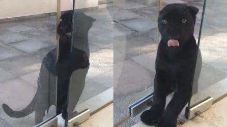 Il giaguaro si avvicina alla porta di vetro e la apre