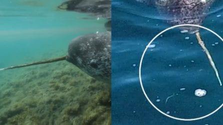 Ha un dente lunghissimo con cui stordisce i merluzzi: le spettacolari immagini dell'unicorno marino