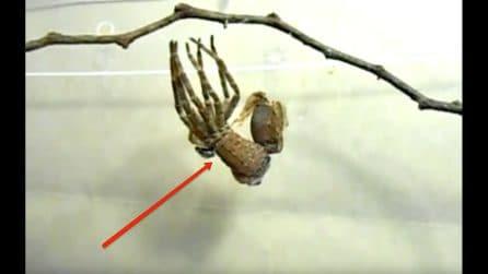 La telecamera riprende la fuoriuscita di un nuovo corpo: le straordinarie immagini della muta del ragno
