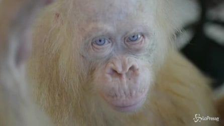 Alba, la baby orango dagli occhi azzurri