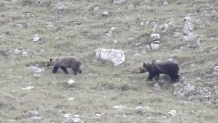 Mamma orsa in amore manda via il suo cucciolo: straordinario avvistamento in Abruzzo