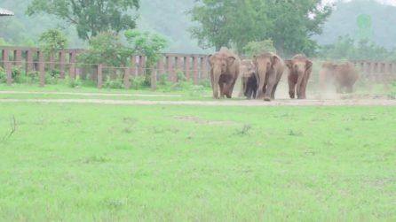 Corrono a salutare il nuovo arrivato: il caloroso benvenuto al baby elefante